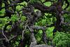Gnarly blue oak