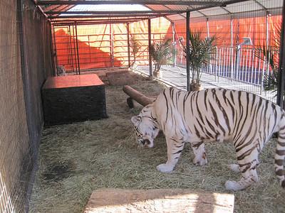 2012-Mid-South-Fair-Tiger