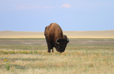 Badlands National Park  - Bison