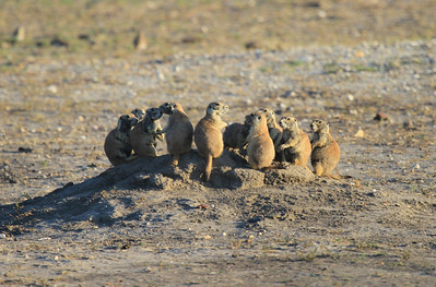 Badlands National Park - Roberts Prairie Dog Town