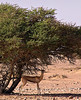 Gazelle, Jalouni, Oman