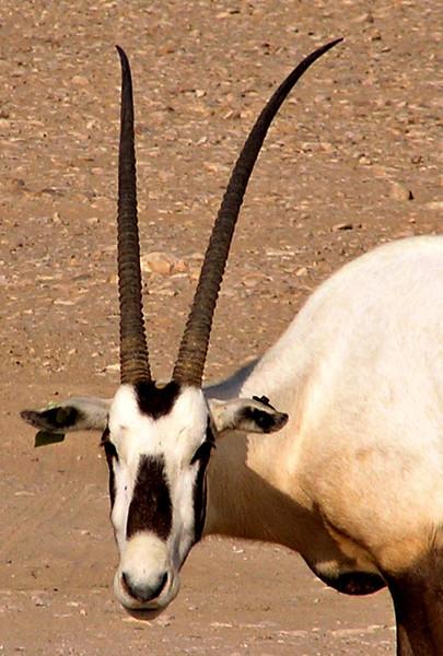 Arabian oryx, Jalouni, Oman