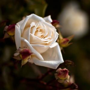 Roses in Afghanistan? Yes!