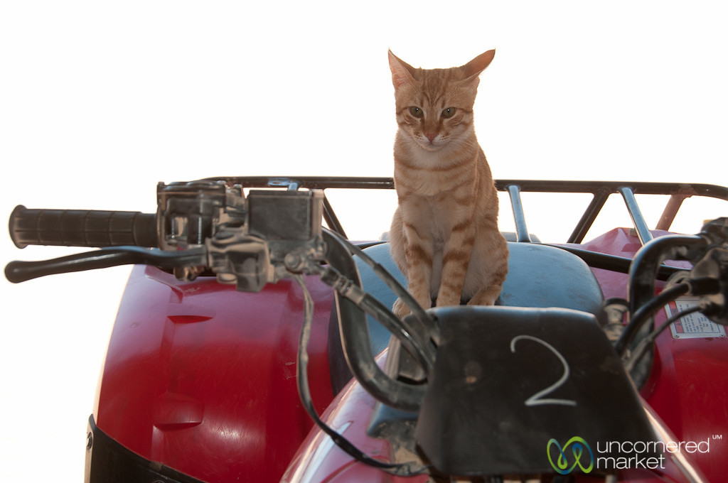 Cat on Quad Bike - Hurghada, Egypt