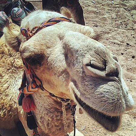 Cary the Camel, Bedouin public transport #WeVisitEgypt