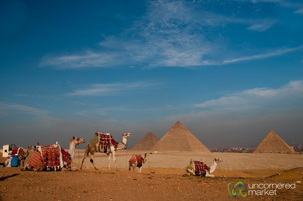 Camels at the Giza Pyramids - Egypt