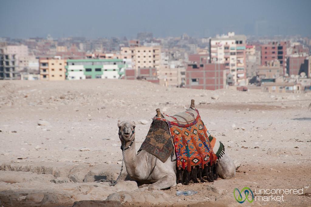 Egyptian Camel with Cairo Skyline - Giza Pyramids, Egypt