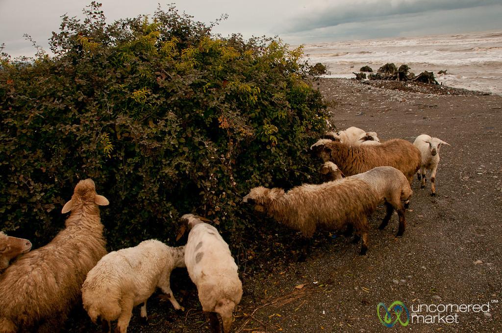 Sheep Eating by Caspian Sea, Iran