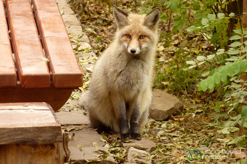 Fox at St. Stephanos Church - Jolfa, Iran