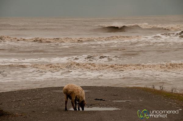 Sheep by Caspian Sea - Iran