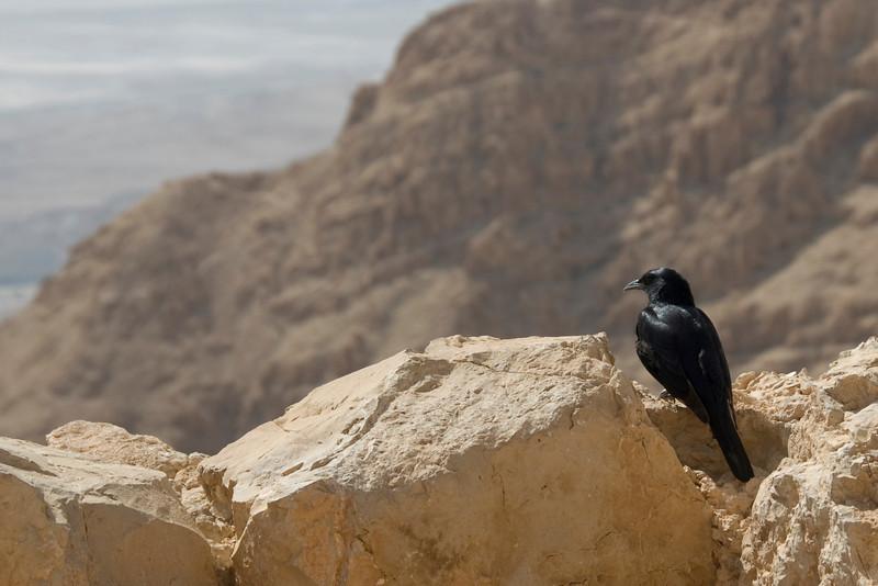 Bird perched on top of Masada in Israel