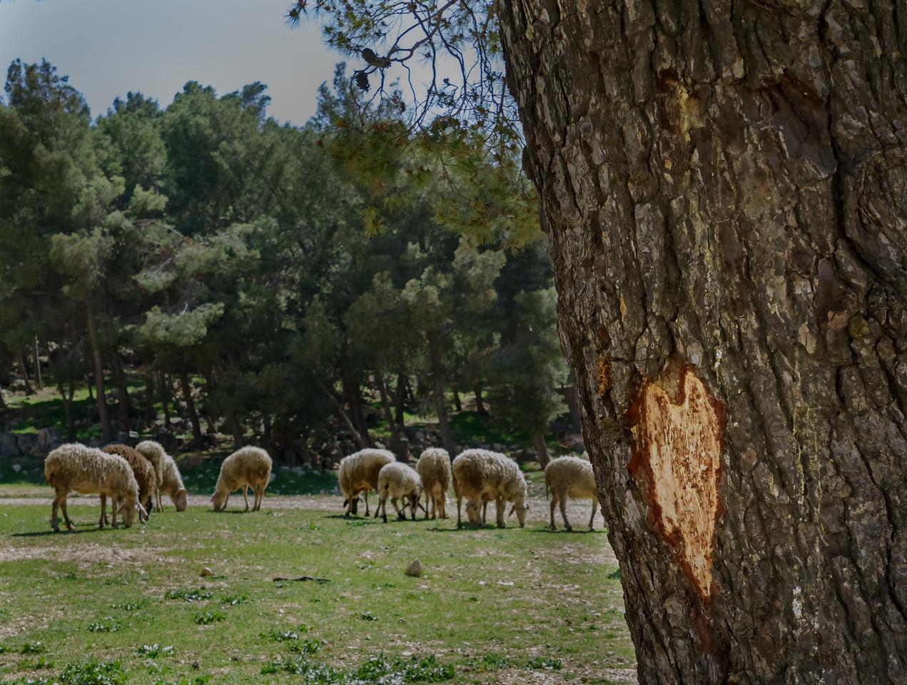 Bethlehem pasture