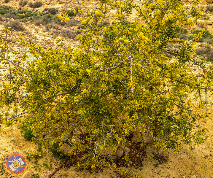 An Organ Tree Growing in the Negev (©simon@myeclecticimages.com)
