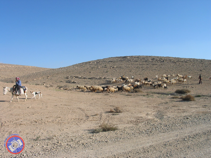 Herding Sheep in the Negev (©simon@myeclecticimages.com)