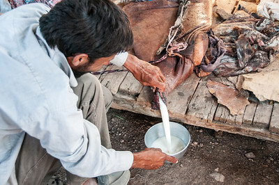 Collecting milk in Feynan, Arabah, Jordan