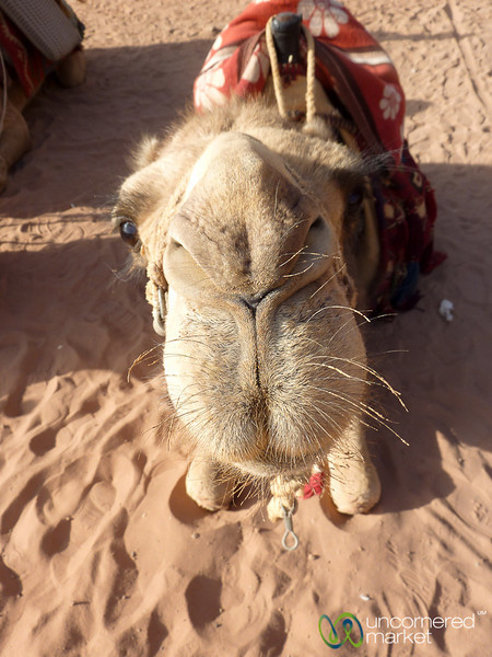 Give me a Big Camel Kiss - Wadi Rum, Jordan