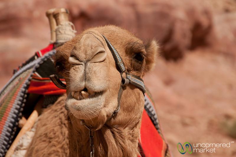 Camel Love - Petra, Jordan