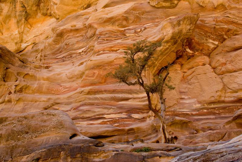 Solitary tree in Petra, Jordan