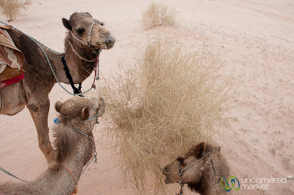 Camel Feeding Time - Wadi Rum, Jordan