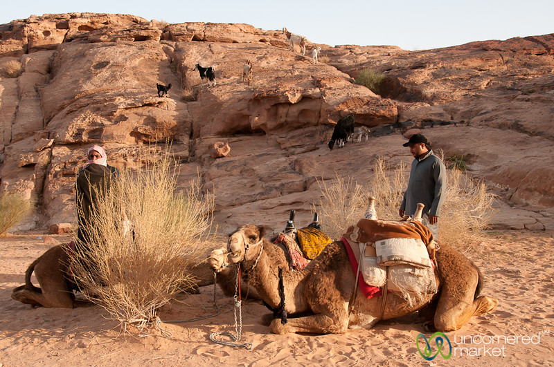 Camels Get Ready to Go on a Walk - Wadi Rum, Jordan