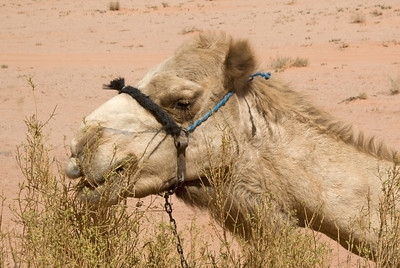 Closeup of camel in Wadi Rum, Jordan