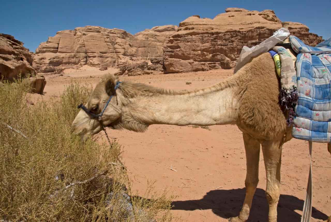Camel feeding in Wadi Rum, Jordan