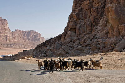 Goats on the Road - Wadi Rum, Jordan