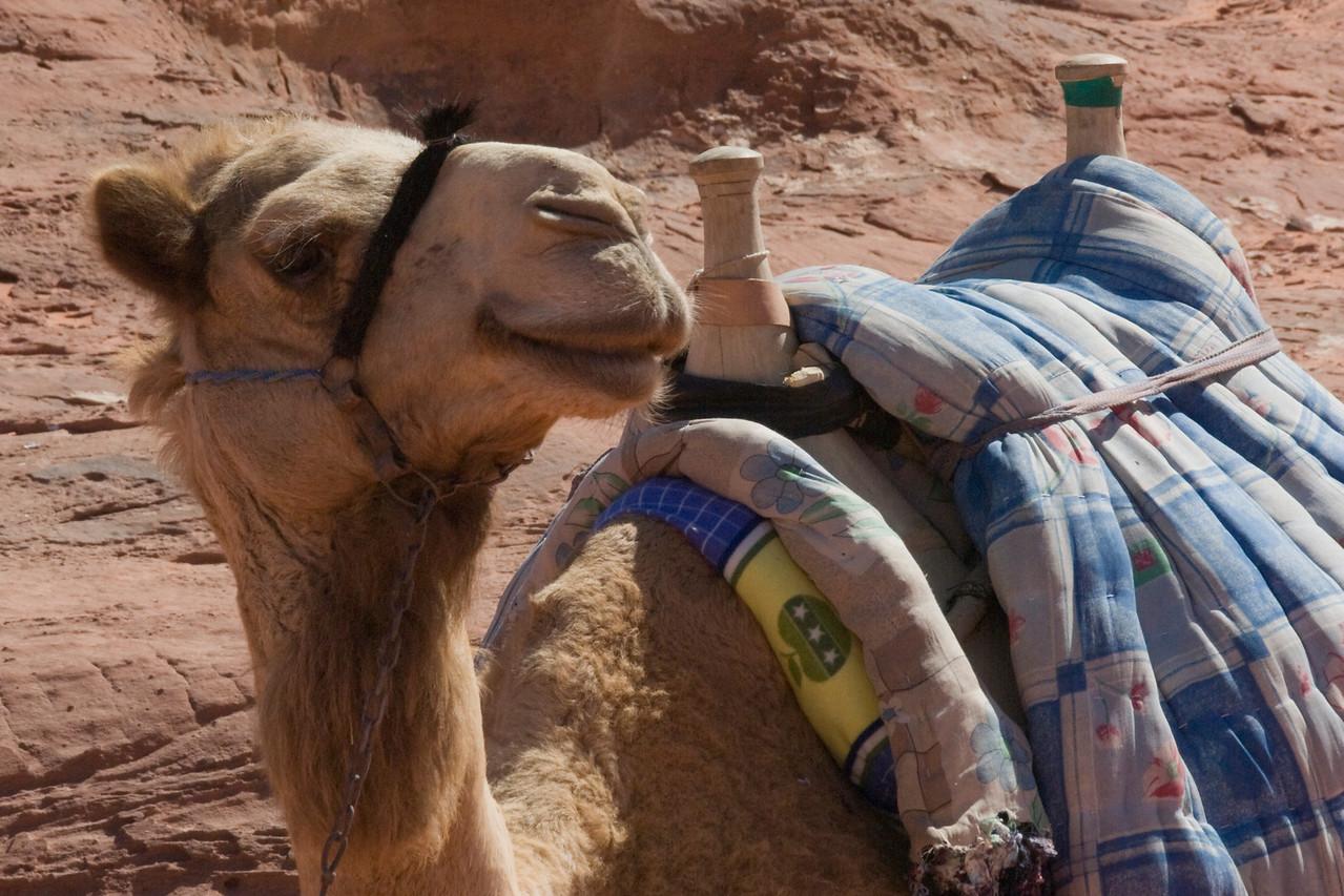 Camel Closeup - Wadi Rum, Jordan
