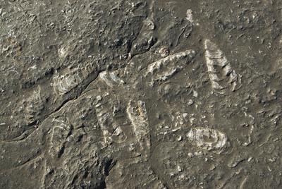 Squid Fossils - Musandam, Oman