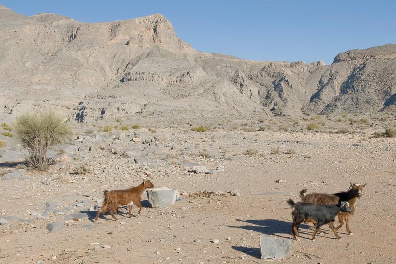 Goats in Mountain - Musandam, Oman