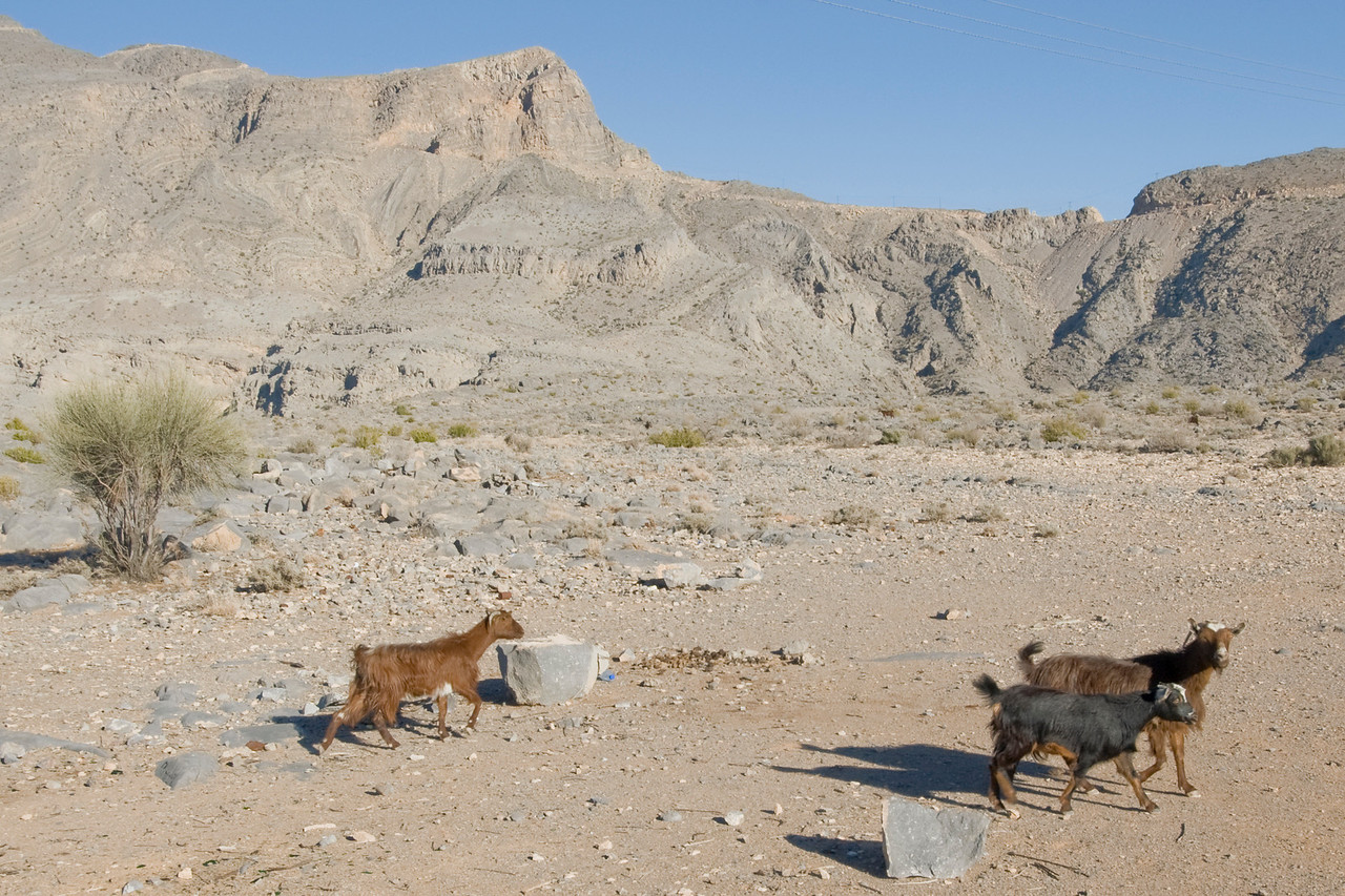 Goats in Mountain - Musandam, Oman