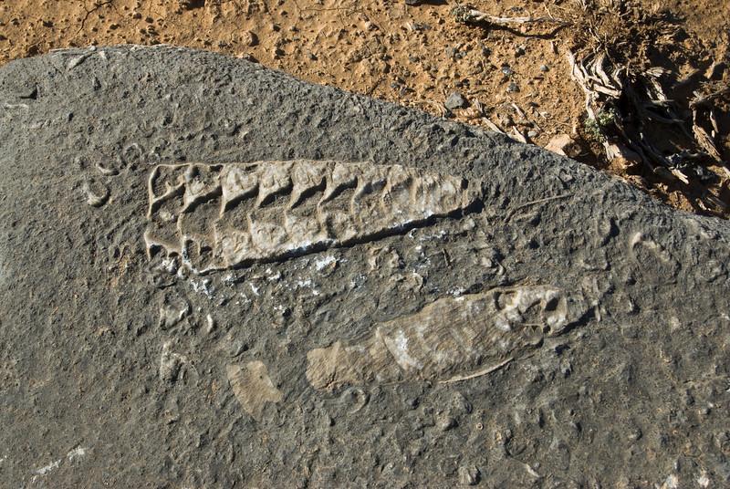 Squid Fossils 2 - Musandam, Oman