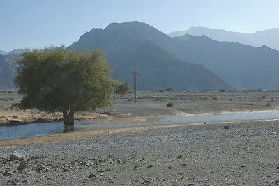 Tree in Creek - Musandam, Oman