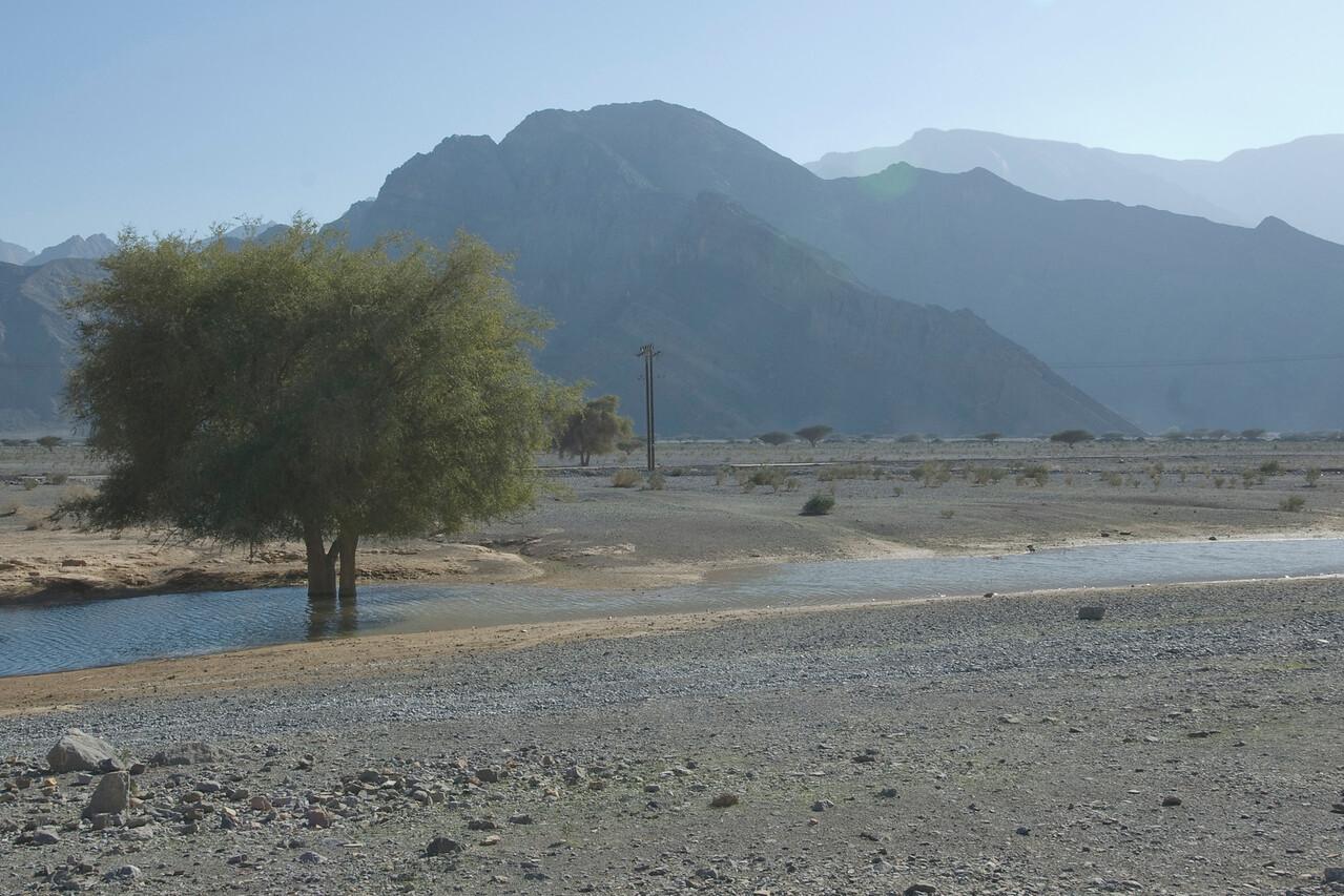 Tree in Creek - Musandam, Oman