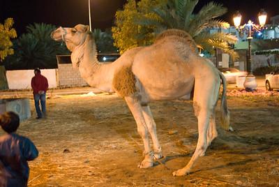Camel in Muscat, Oman