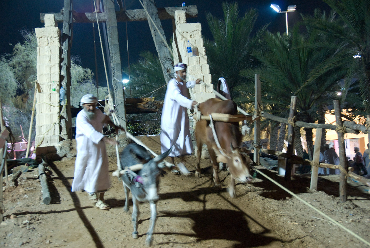 Animals drinking from water well in Muscat, Oman