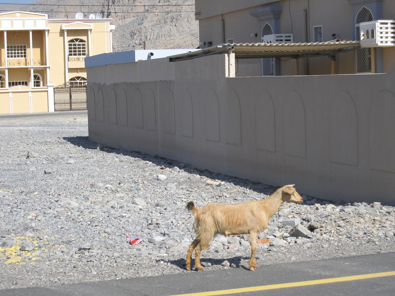 Goat on the street of Muscat, Oman