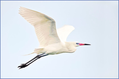 White Morph Reddish Egret San Antonio Bay TX