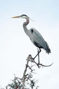 Great Blue Heron San Antonio Bay, TX