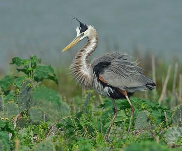 Great Blue Heron San Antonio Bay TX