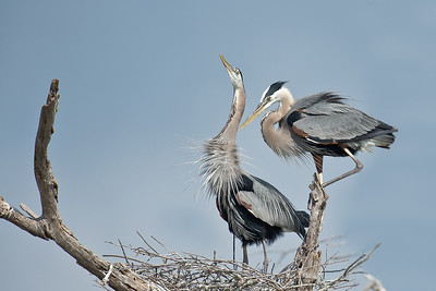 Great Blue Herons San Antonio Bay TX