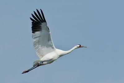Whooping Crane Aransas National Wildlife Refuge, TX