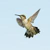 Ruby-throated Hummingbird<br /> Rockport TX