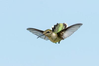 Ruby-throated Hummingbird Rockport TX