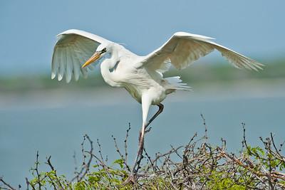 White Morph Great Blue Heron San Antonio Bay TX