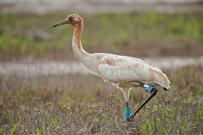 Whooping Crane Juvenile Aransas National Wildlife Refuge, TX