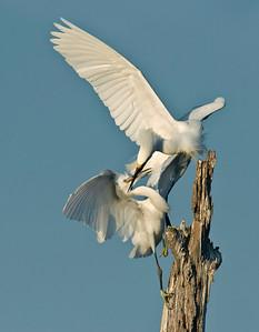 Snowy Egrets Lake Livingston TX