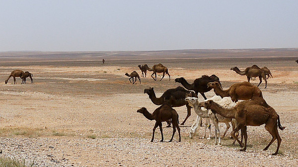 It's always time for camel sightings in the desserts of Jordan.