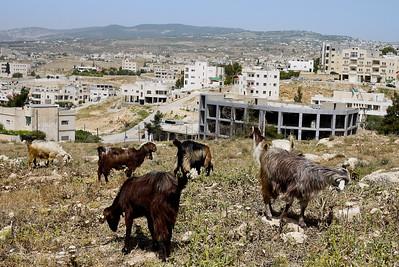 Goats graze on the grasses outside the city in Jordan.