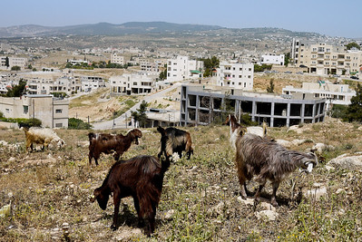 Goats graze on the grasses outside the city in Jordan.